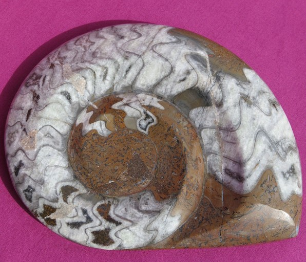 buy Moroccan Goniatite Fossil